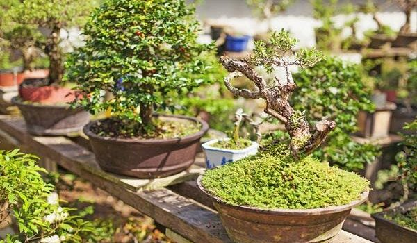 Advantages Of Owning A Bonsai